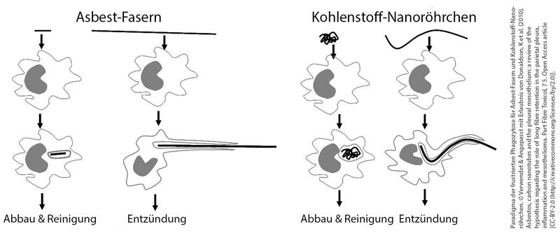 Paradigma der frustrierten Phagozytose für Asbest-Fasern und Kohlenstoff-Nanoröhrchen.