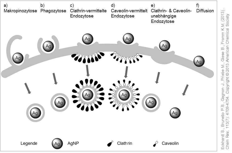 Mögliche Aufnahmewege in die Zelle für Silber Nanopartikel. © Eckhardt et al. (2013).