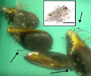 Miesmuscheln in mit Industrieruß versetztem Wasser. Die Filtrierer versuchen die Partikel durch Schleimabsonderung loszuwerden (Pfeile). © Canesi et al., 2010.