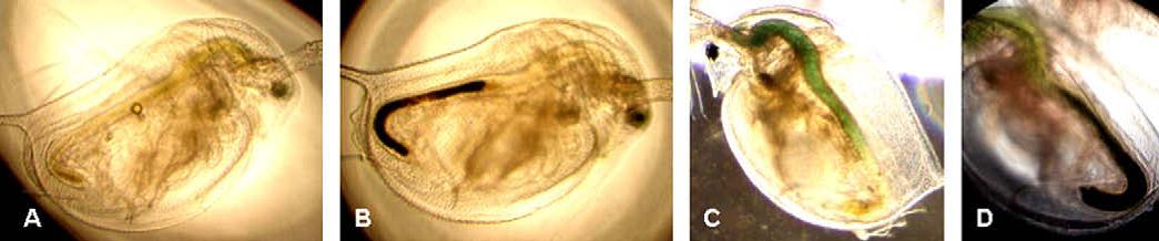Wasserflöhe reichern Titandioxid-Nanopartikel im Darm an, erkennbar an der Schwarz-Färbung. © Zhu et al., 2010.