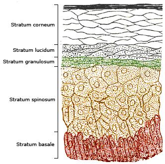 Zellschichten der menschlicher Oberhaut (Epidermis). © Wikipedia.de.