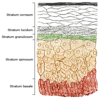 schematic image of the different layers of human skin starting from the stratum conreum at the top down to the stratum basale at the bottom
